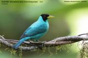 242.009.Chlorophanes spiza001.Male.Selva Verde Lodge.CR.2.12.2015