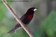 242.103.Ramphocelus carbo001.Male.Pantanal.Brazylia.10.11.2013