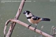 242.165.Sporophila collaris001.Pantanal.Brazylia.17.11.2013