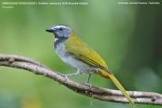 242.169.Saltator maximus001.Selva Verde Lodge.CR.1.12.2015