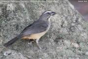 242.173.Saltator coerulescens001.Pantanal.Brazylia.14.11.2013