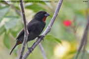 242.251.Loxigilla noctis001.Male.Antigua.28.02.2010