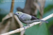 242.336.Thraupis palmarum001.Selva Verde Lodge.CR.2.12.2015